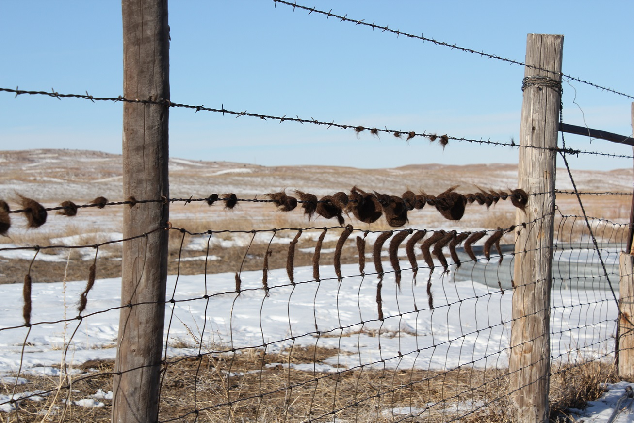 Cattle lice are a cold weather insect, thriving during wintery conditions. Photo courtesy of Troy Walz.
