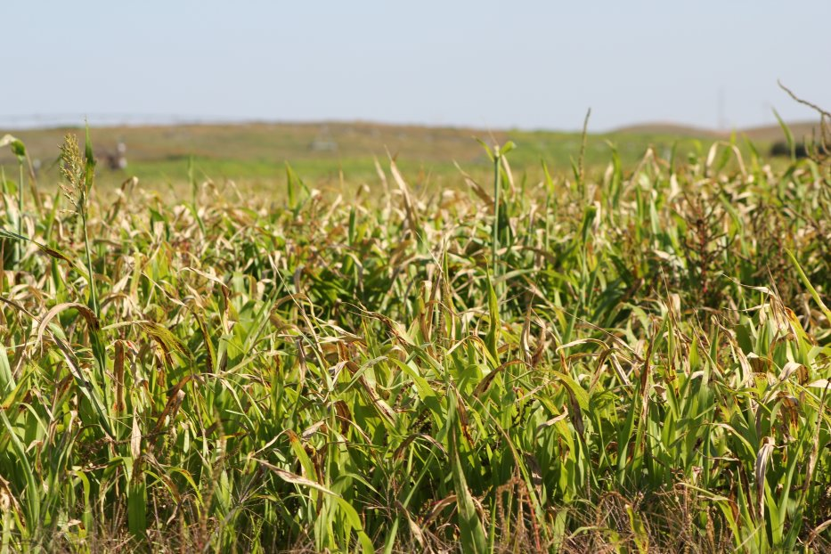 Sorghum-related plants, like cane, sudangrass, shattercane, and milo can be highly toxic for a few days after frost. Photo courtesy of Troy Walz.