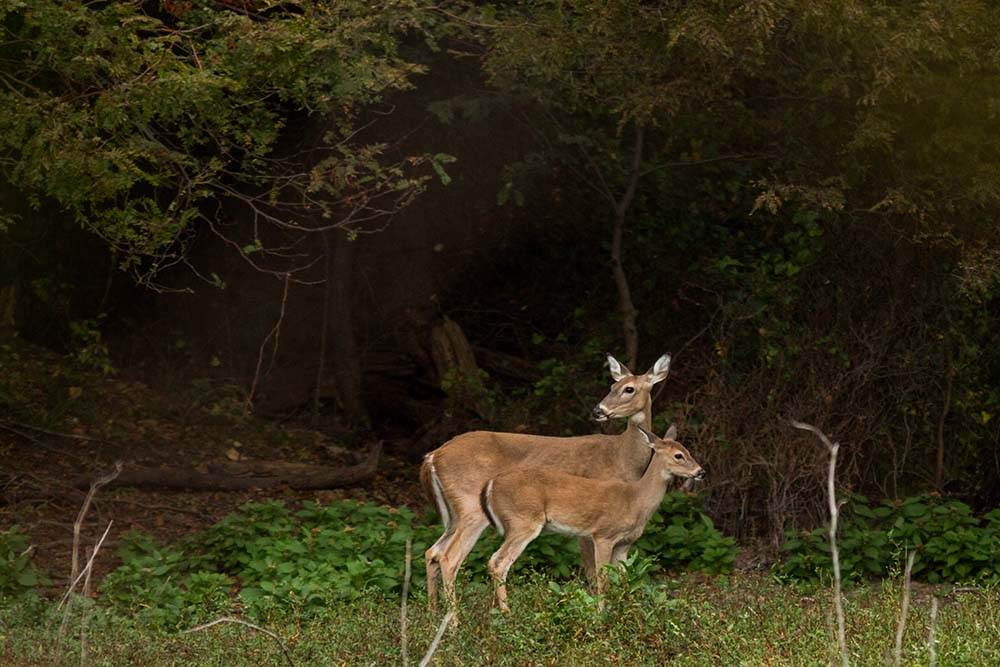 Deer on Oswalt Ranch